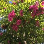 come si chiama quell'albero dai fiori rosa