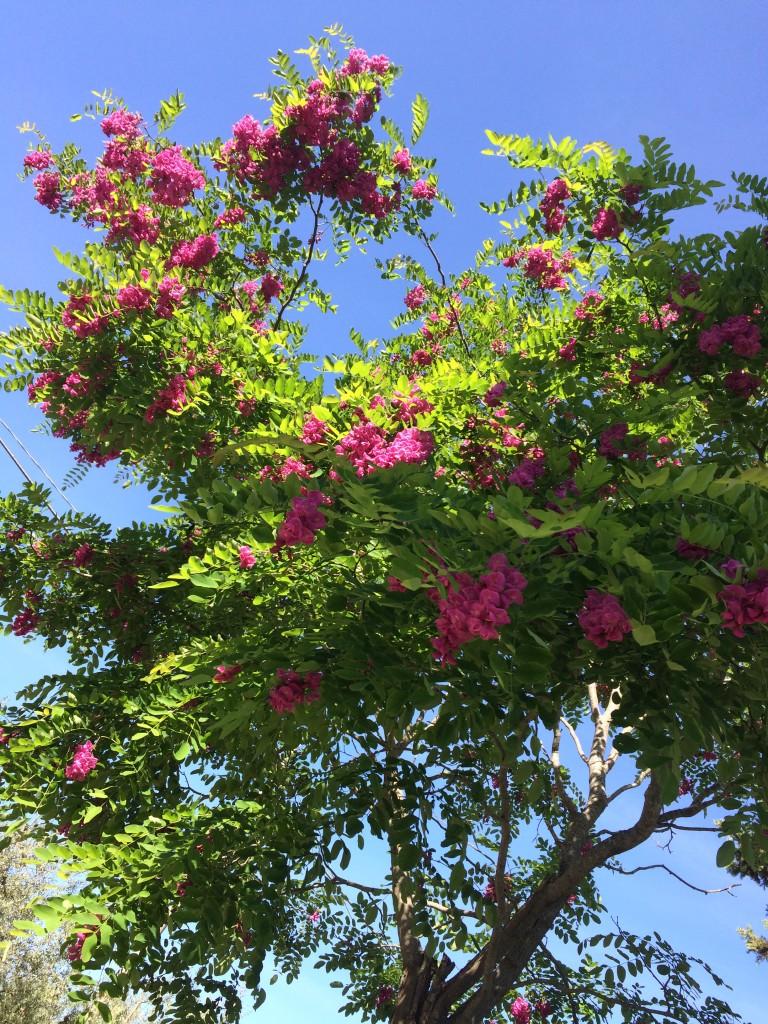 La finestra di stefania alberi cespugli e gruppi di piante for Pianta ornamentale con fiori a grappolo profumatissimi