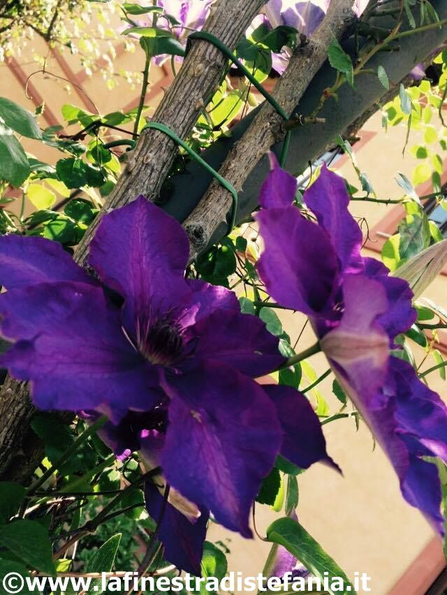i fiori più belli per una pergola