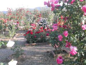 le rose più profumate quali sono