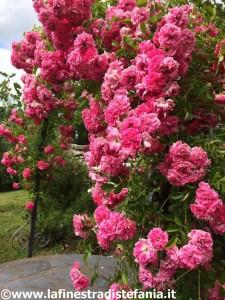 rose rambler rampicanti a grappoli