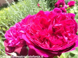 le rose dell'amore