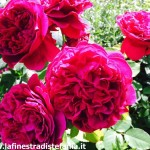 la rosa rosso cremisi profumatissima è la William Shakespeare