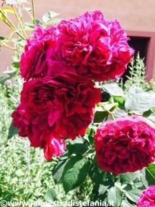 rose inglesi profumate e rosse