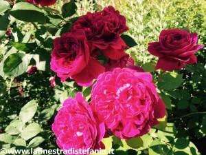 quali sono le rose più profumate