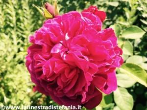 la mia rosa preferita