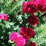 Come si chiamano le rose rosse scure e profumate?