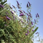 come potare la buddleja