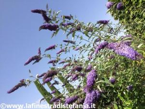 la buddleja dai fiori viola