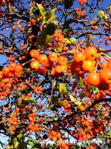 malus alberi ornamentali con frutti rossi