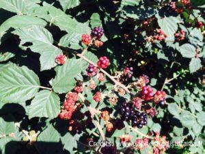 frutti rossi di lamponi e more