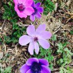 quanti colori hanno i fiori di anemone?