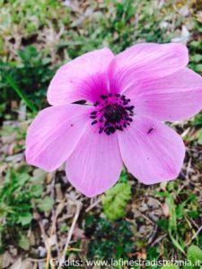 anemone-rosa.jpg
