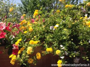 What to plant in a pot of self-cleaning flowers, fiori rustici in vaso