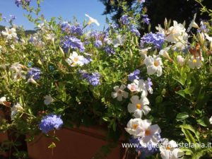 quali sono i fiori bianchi e blu resistenti al sole, which are the sunny white and blue flowers