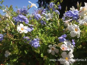cascate di fiori bianchi e blu, cascades of white and blue flowers