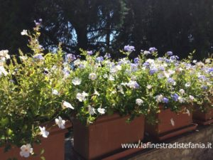 lust for wedding with plumbago and white flowers, addobbo per matrimonio con plumbago e fiori bianchi