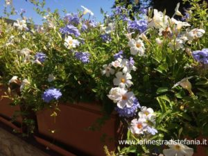 idee fiorite per vasi con colori bianco e azzurro, floral ideas for pots in white and blue colors