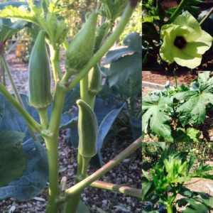 Ocra gombo o okra come coltivarla in giardino e usarla for Gombo ricette