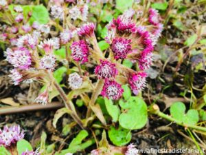 come si chiamano quei fiori rosa e bianchi che tappezzano le aiuole in inverno, what are the names of those pink and white flowers that cover the flower beds in winter