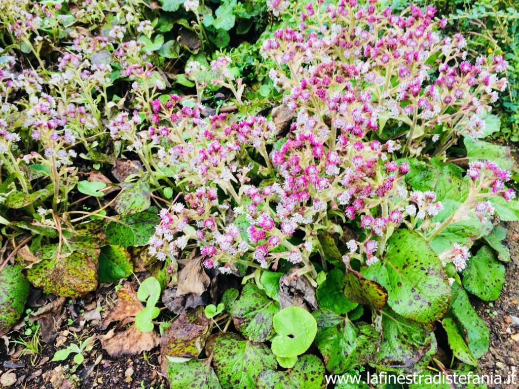 Fiori Tappezzanti Per Aiuole piante-tappezzanti-che-fanno-fiori-in-inverno - la
