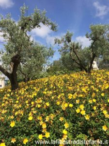 campo di fiori gialli, field of yellow flowers