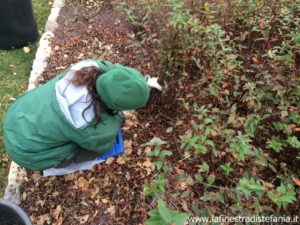 how to prune the hypericum