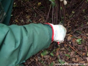 Tighten the Hypericum plant with one hand