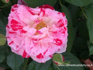 pink variegated rose, rose panachée rose
