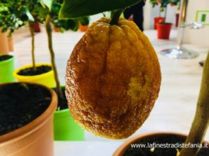 corso per potare e conoscere gli agrumi, course to prune and learn about citrus fruits,