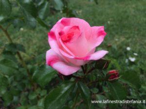 the most beautiful roses in the world, die schönsten Rosen der Welt