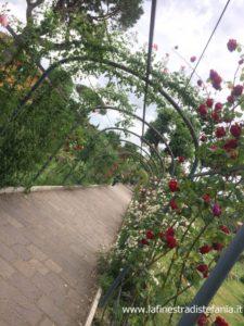 les plus belles roses du monde, rose grimpant