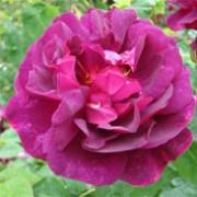 Rosa 'Chianti', Rosa arbustiva 'Chianti', Rosa Auswine, David Austin rosa