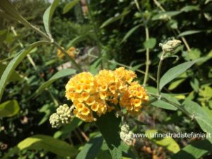 yellow buddleja flower, fiore di buddleja giallo