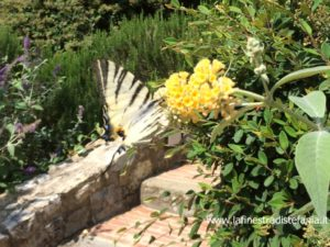 Pflanzen, die Schmetterlinge anziehen, der Buddleja, Les plantes qui attirent les papillons, le Buddleja, Plants that attract butterflies, the Buddleja