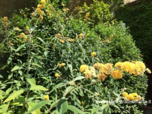 buddleja hedge with yellow flowers, haie de buddleja avec des fleurs jaunes, Buddleja Hecke mit gelben Blüten