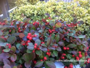 Cosa piantare in giardino per le festività natalizie