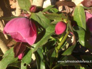 rizomi che fioriscono a gennaio, febbraio, marzo