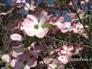 arbusti dai fiori rosa ad aprile, cornioli