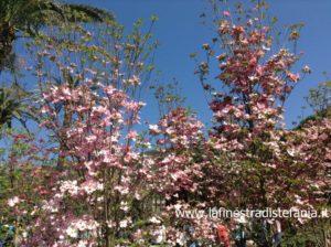 alberi fioriti che non crescono troppo, i cornus, cornioli da fiore