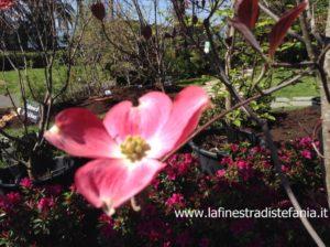 arbusto dai fiori a quattro petali rosa o bianco, cornus